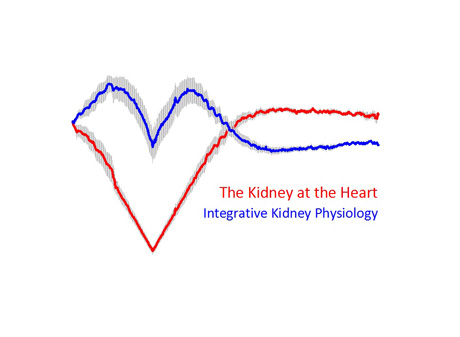 Original data: time course of changes in renal vascular conductance (blue) during ramp-wise changes in renal perfusion pressure (red). Depicted are relative changes as mean ± SEM (n=10 rats). Figure: E. Seeliger